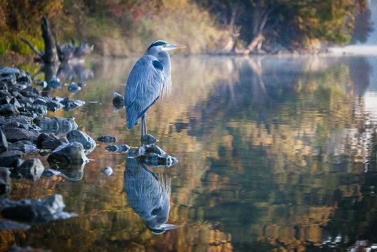 Great Blue Heron, American River Parkway, 11-23-15