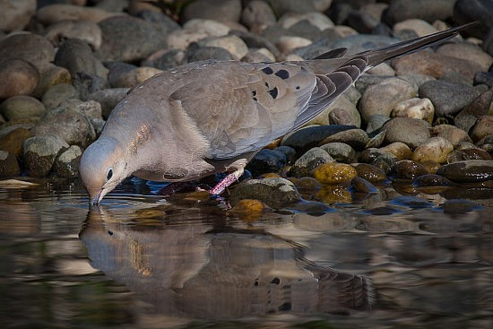 Mourning Dove, American River Parkway