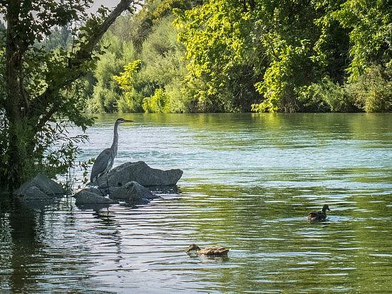 Heron & Ducks , UU Mile, 8-4-16