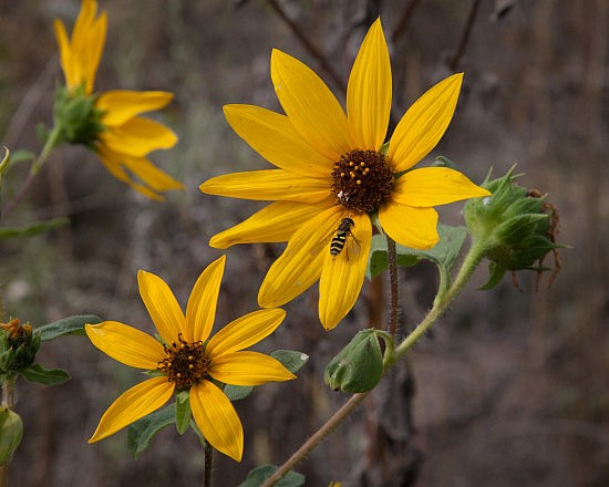 Wild Sunflower Blossom From the UU Mile of the Parkway.