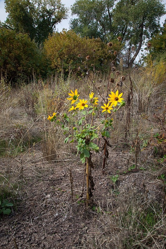 Wild Sunflower on the UU Mile of the American River Parkway