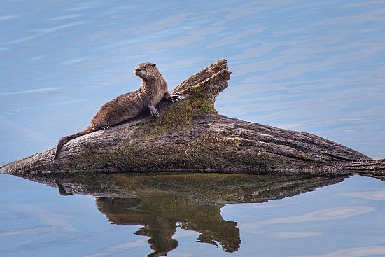 Juvenile River Otter on the UU Mile of the American River Parkway, 10-22-16