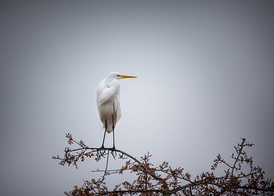 Great Egret, American River Parkway, 12-12-16