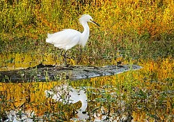 Snowy Egret In Autumn, American River Parkway, ©David Dawson, 2017